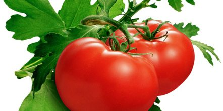 Hydroponic Tomato Growing – Hydro Herb Africa